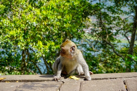 Adorable little baby macaque monkey by the road. Ubud, Bali, Indonesia Imagens
