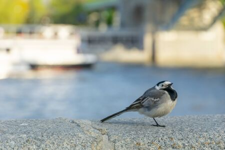 A Black-cap Chickadee perched on a wall with a river background.