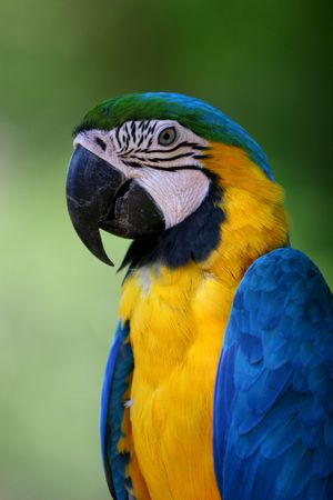Blue and yellow macaw portrait