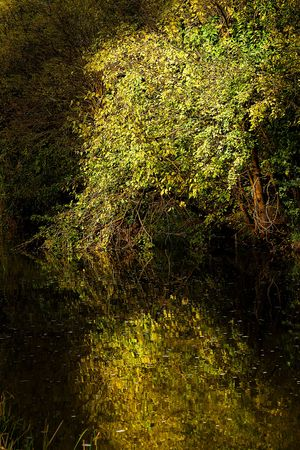 Mulberry tree during autumn next to a river, rich and colorful