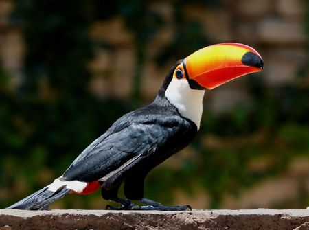 tucan sitting on a wall in the sun, beautiful colours