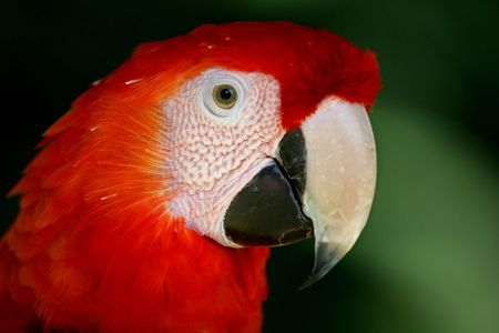 portait of a red macaw, head only