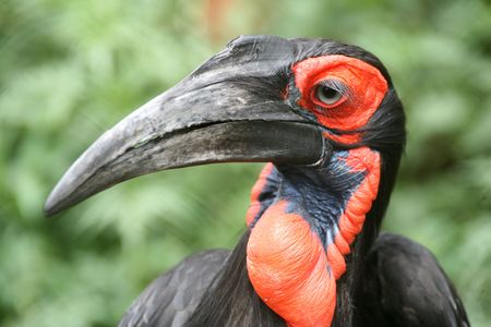 African ground hornbill bird, endangered species. beautiful red cheeks and long eye lashes