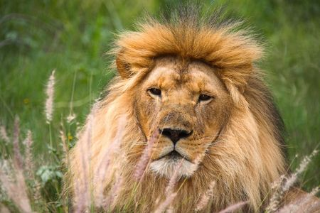 Lion staring at me - fearce looking and dange hiding behind the long african grass