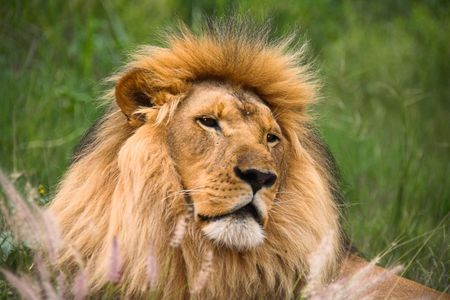 lion looking very peaceful and resting
