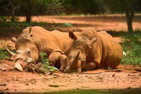 two resting rhinos, fast asleep in the african sun, lovers lying together, , couple Stock Photo