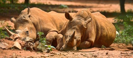 two resting rhinos, fast asleep in the african sun, lovers lying together, family, couple