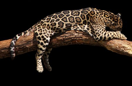 an african leopard is taking asnooze nap sleep in the afternoon sun. Isolated onto black.