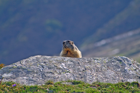 Marmot Groundhog behind a rock