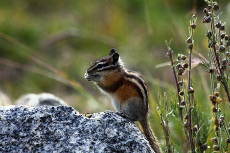 Cute Little Rocky Mountain Chipmunk Preparing for Winter