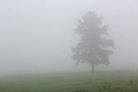 Tree in the Fog at Custer State Park in South Dakota Stock Photo