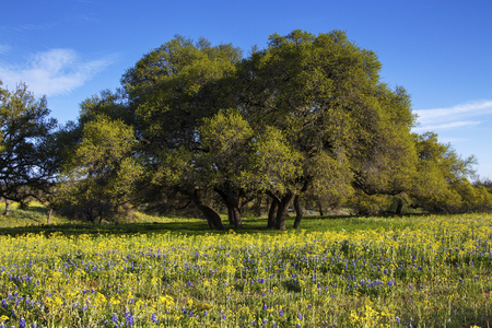 Field of Flowers in Front of Shapely Trees in the Hill Country of Texas