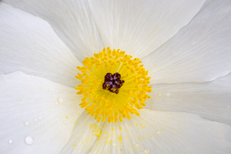 Closeup of a Wild White Poppy in the Texas Hill Country