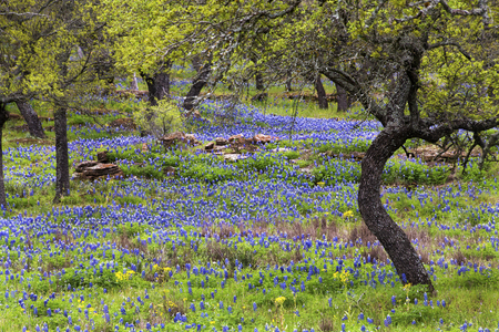 Bluebonnets on the Rocky Hills of the Texas Hill Country Stock Photo
