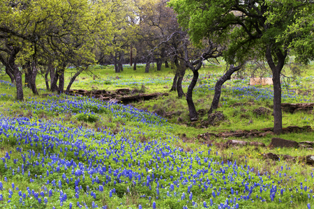 Bluebonnets on the Rocky Hills of the Texas Hill Country 免版税图像