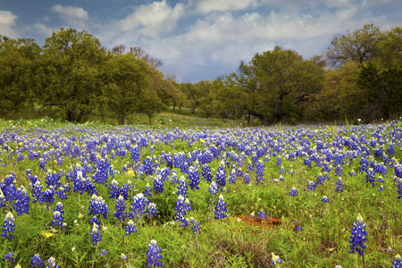 Field full of Bluebonnets in the Texas Hill Country 免版税图像