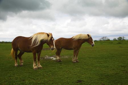 Draft Horses on Mach Road on the Bluebonnet Trail Near Ennis, Texas