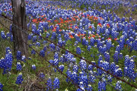Bluebonnets and Indian Paintbush in the Texas Hill Country, Texas