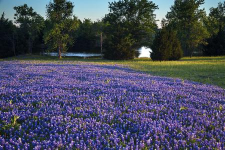 Texas Bluebonnets in a Field on Mach Road, Ennis Texas