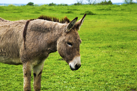 Donkey in a Pasture Off of Mach Road on the Bluebonnet Trails in Ennis, Texas