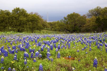 Bluebonnet Fields Near Fredericksberg, Texas on Willow City Loop