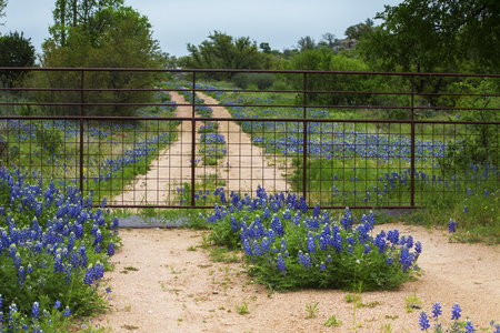 Gated Road Full of Bluebonnets Near Willow City Loop in Texas Hill Country