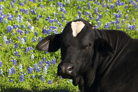Black Bull in the Wild Bluebonnets in the Ennis Area, Texas Stock fotó