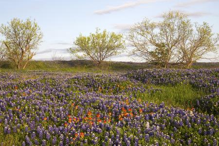 Field of Bluebonnets and Paintbrush, Mach Road, Near Ennis, Texas Stock fotó