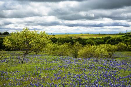 Bluebonnet Field Under Cloudy Skies Near Ennis, Texas