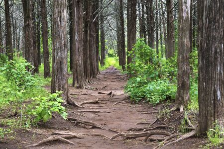 Pathway Through the Understory of Tall Trees