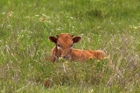 Texas Longhorn Calf Hiding in the Grasses