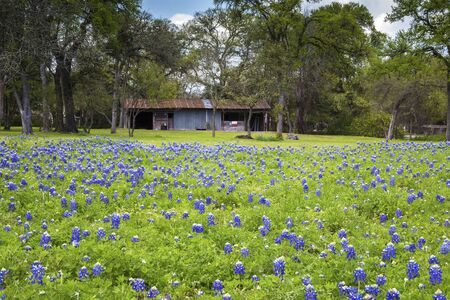 Field of Bluebonnets in a Rural Area of Texas Hill Country Stock fotó