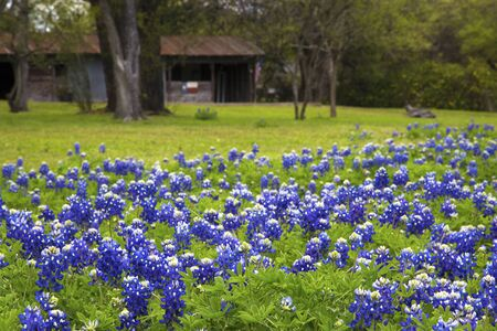 Field of Bluebonnets in a Rural Area of Texas Hill Country Stock Photo