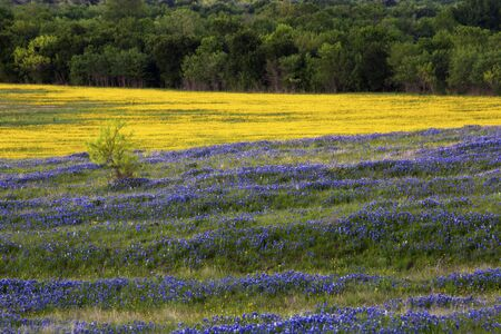 Purple and Yellow Field of Flowers on the Bluebonnet Trail Near Ennis Texas