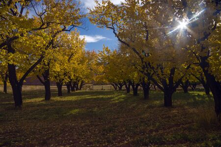 Fall Colors in the Orchards at Capital Reef, Fruita District, Utah. Stock fotó