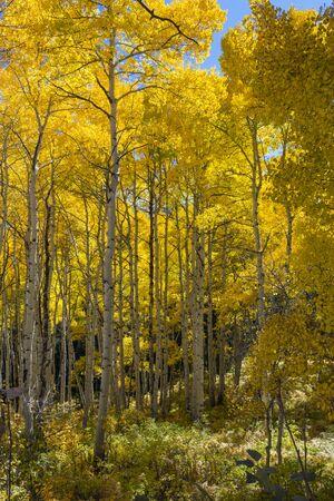 Golden Aspen in the Rocky Mountains of Colorado.