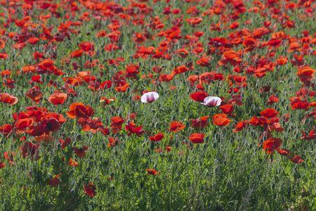 Field of Red Corn Poppies in Fredericksburg, Texas