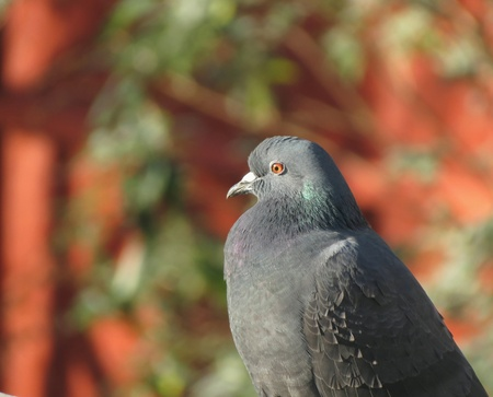 Pigeon bird close up