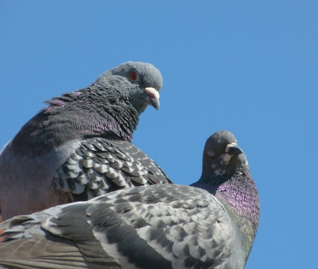 Pigeons on roof Stock Photo - 13424628