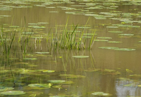 Grasses and lily pads in lake Stock Photo