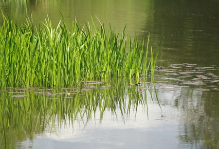 Grasses in lake
