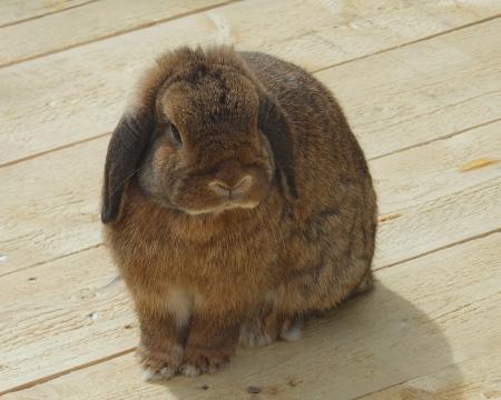 lop eared: Rabbit lop eared