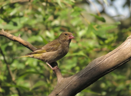 greenfinch: Greenfinch bird Stock Photo