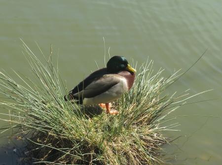 Duck beside lake