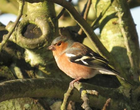 chaffinch: Chaffinch bird