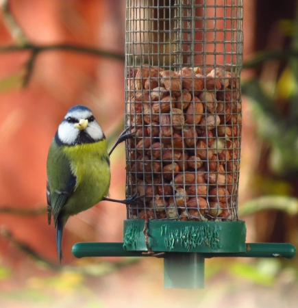 animal feed: Blue tit bird