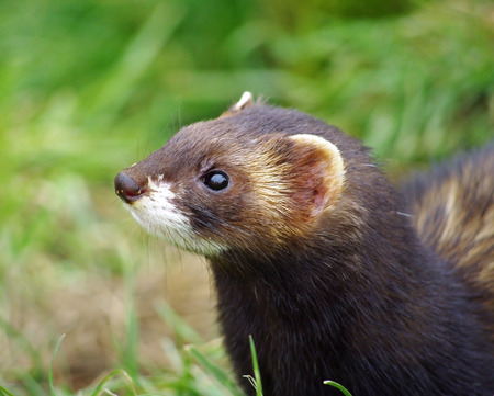 Polecat animal close up