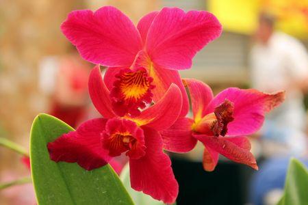 Cattleya Orchid Stock Photo - 8007459