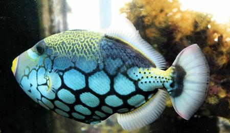 gatillo: Peces de Trigger de payaso en el acuario, Sud�frica