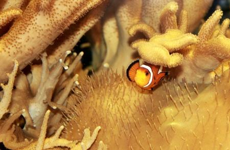 Clown fish in Aquarium, South Africa Stock Photo - 8284971